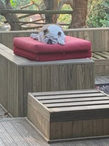 Everlast Pine Decking wooden floor with dog sleeping