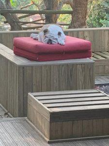 Everlast Pine Decking wooden floor with dog sleeping